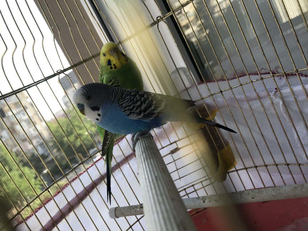 ペット 鳥