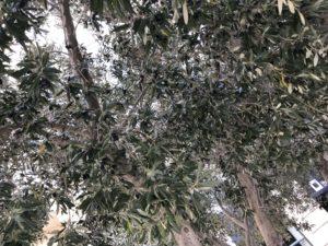 オリーブの木 下