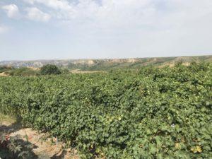 SAVALANワイナリー ブドウ