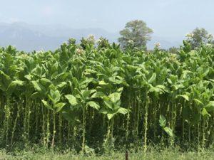 タバコ栽培